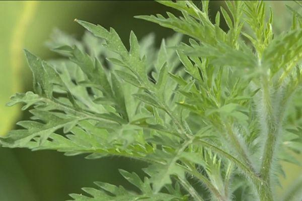 L'ambroisie, plante sauvage et envahissante, est hautement allergisante