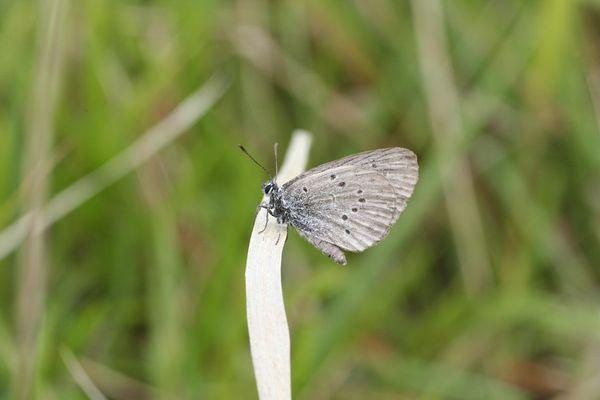 L'azuré de la croisette est un petit papillon de jour protégé