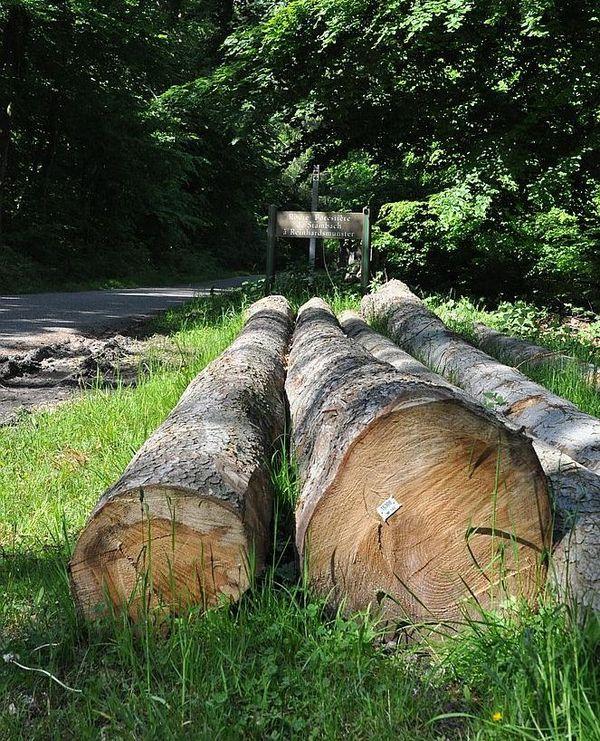 Ces arbres déjà coupés attendent que les entreprises de transport puissent reprendre leur activité pour être transportés en scierie.