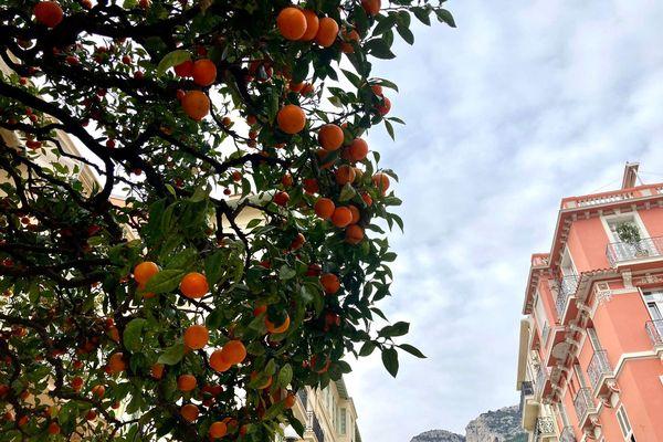 La récolte des oranges amères, a commencé dans les rues de Monaco