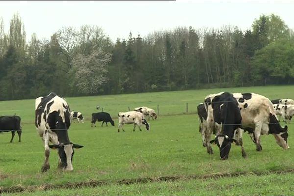 D'avril à novembre, les vaches de Nathalie sont au pré.