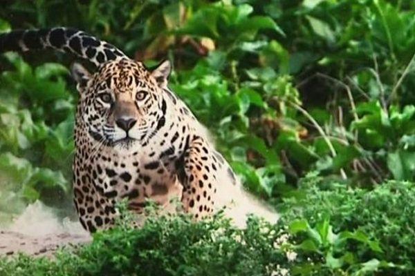 Léopard en train de chasser, un des clichés de l'exposition Photographes de Nature.