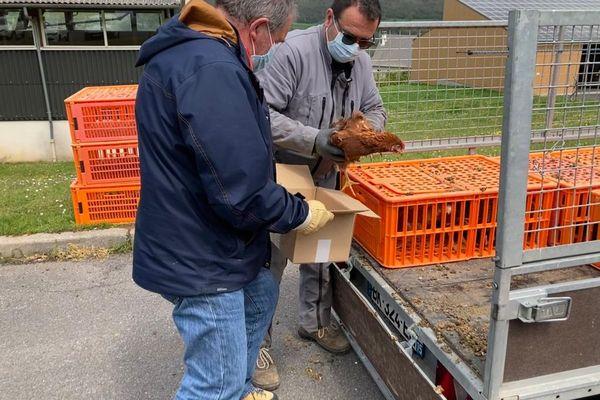 A Saint-Cernin, dans le Cantal, 150 foyers ont pu recevoir gratuitement une poule pondeuse.
