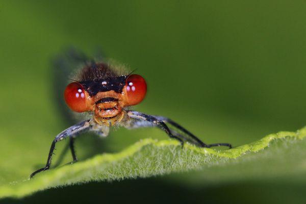 Naïade aux yeux rouges, espèce en danger.