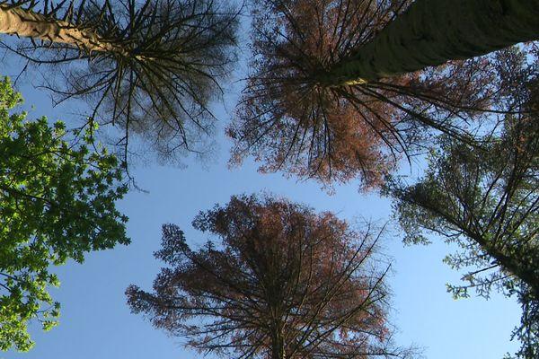 Le rougissement du sommet des arbres est synonyme d'attaques de scolytes, un insecte ravageur.