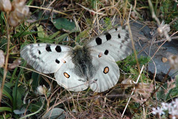L'apollon, espèce sentinelle des montagnes, est particulièrement menacé par le réchauffement climatique.
