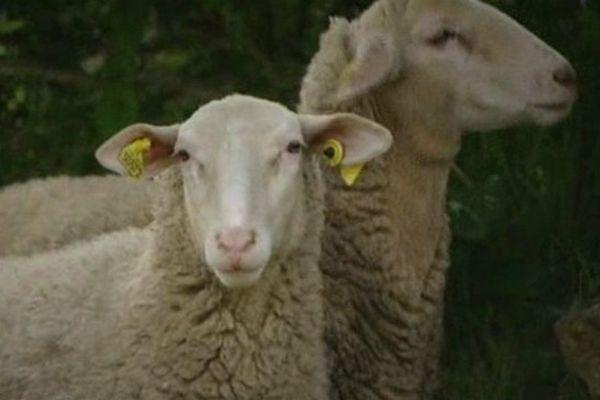 Les brebis de l'élevage de Ribouisse