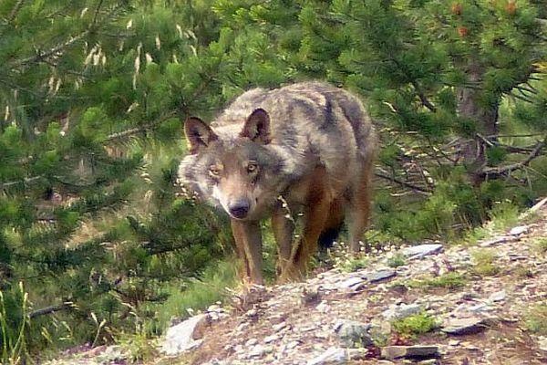 Massif du Puigmal (Pyrénées-Orientales) - le loup sort juste avant la nuit - 24 juillet 2014 à 20h34