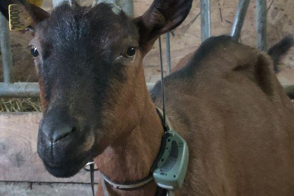 Le collier accéléromètre permet d'obtenir des informations précieuses qui facilitent la vie de l'éleveur.
