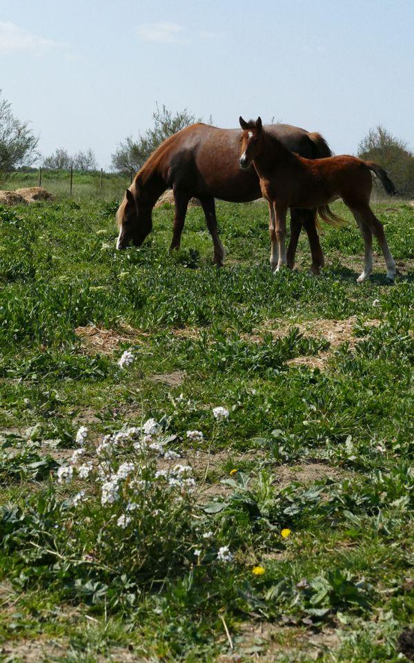 Un poulain et sa mère dans une prairie, à Saint Laurent d'Aigouze, dans le Gard.