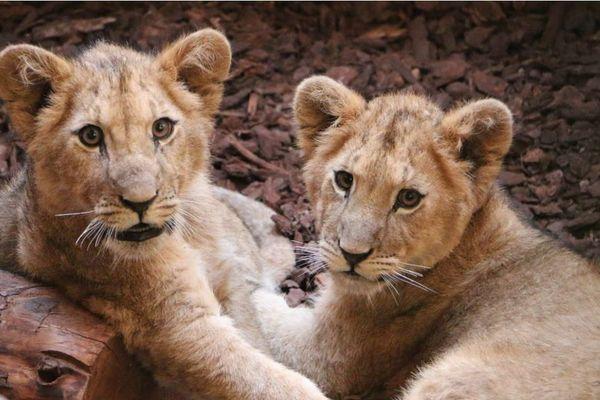 Deux lionceaux de cinq mois ont été découverts devant l'entrée du parc animalier de l'association ROAAR, à Trets (Bouches-du-Rhône), le 31 décembre 2019.