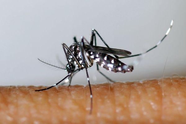 Aedes Albopictus, le moustique tigre - Photo d'illustration