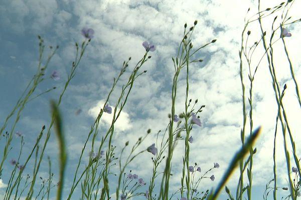 Flandres : avec la sécheresse et le coronavirus, la filière du lin est mise à mal dans la campagne d'Hondschoote