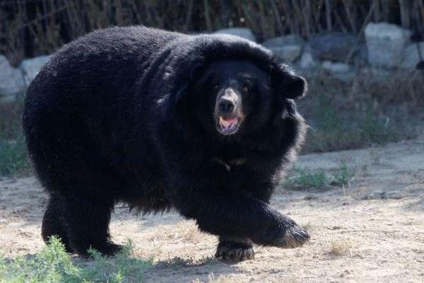 L'ourse Viviane de retour au zoo de Sigean (11) après deux semaines de cavale