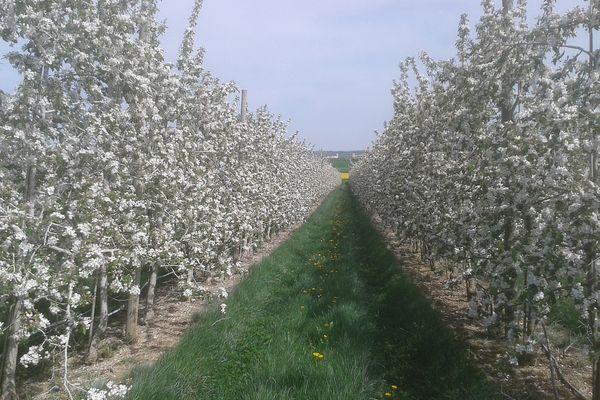 A Saudoy, dans le sud de la Marne, les vergers sont en fleurs.