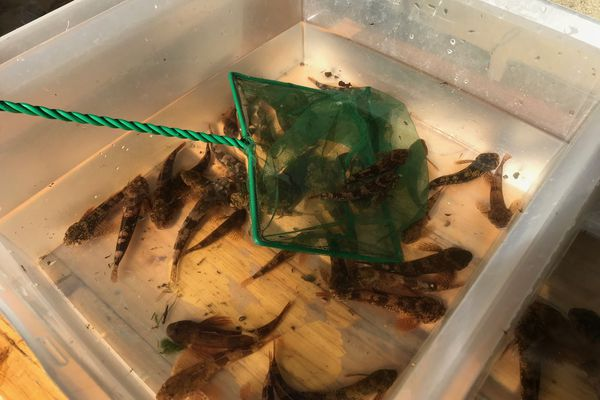 De nombreux chabots présents dans la pêche électrique du jour
