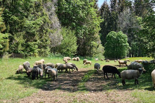 A Pontarlier, Maurice Tissot, Antoine Viennet et Yannick Faivre élèvent leurs moutons en plein air.
