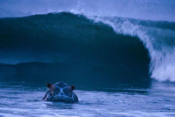 Un hippopotame surfe des vagues sur la côte du Gabon.