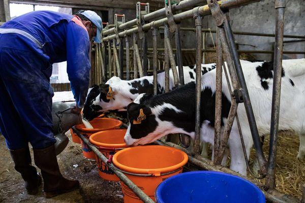 La filière veau a été très impactée par la crise sanitaire.