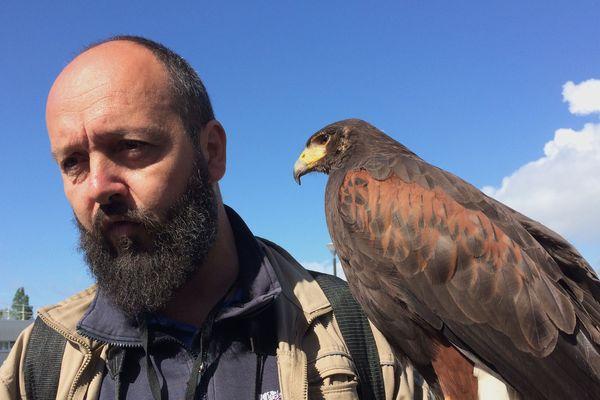 Des buses, comme Bertha, pour chasser les goélands. C'est une première. A Saint-Martin en Ré, le département vient de lancer une grande opération pour chasser les oiseaux marins devenus trop nombreux - avril 2019.