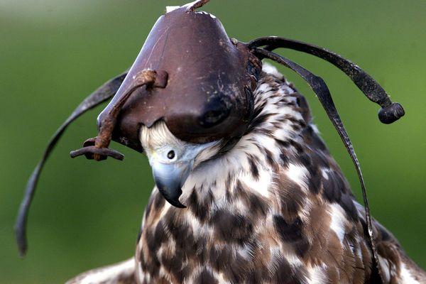 PHOTO D'ILLUSTRATION - Un faucon sacre encapuchonné, à Bordeaux.
