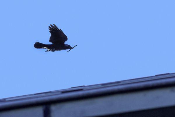 Le choucas des tours, un oiseau de malheurs pour les agriculteurs