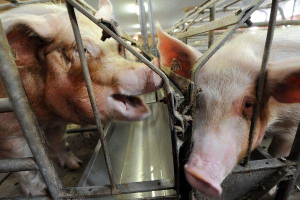 Comme en Vendée avec la porcherie du Poiroux les opposants au projet de porcherie à Guémené-Penfao dénoncent les risques pour la santé et l'environnement