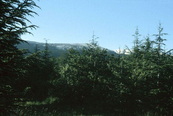 Le Ventoux après 150 ans de colonisation du cèdre, là où ne poussaient autrefois que des cailloux