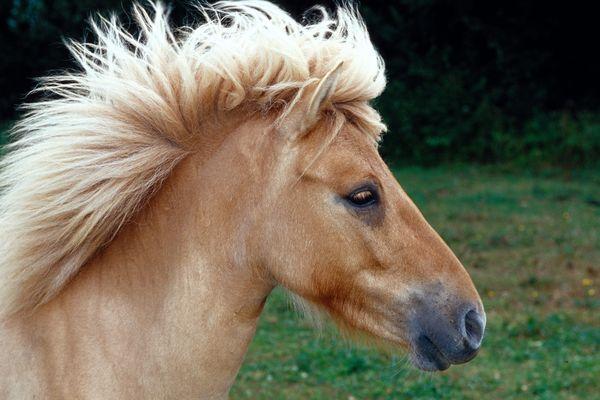 Dans certaines foires, les carrousels à poneys perdurent, au grand dam des associations.