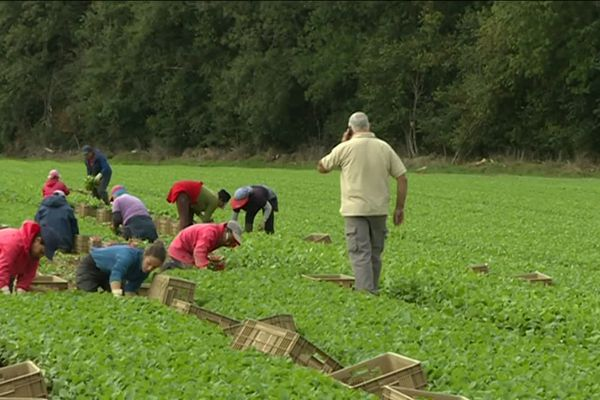 45 saisonniers récoltent chaque jour de tonnes de radis, brocolis, céleri, choux et épinards vendus à Rungis