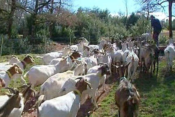 Ceilhes-et-Rocozels (Hérault) - un élevage caprin bio - mars 2015.