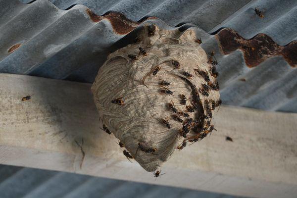 Illustration. La destruction d'un nid de frelons asiatiques demande l'intervention d'une équipe spécialisée.