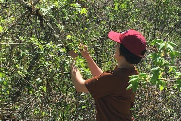 """Cette plante sauvage savoureuse se trouve dans les fossés, les """"bartas"""" ou des endroits un peu humides."""
