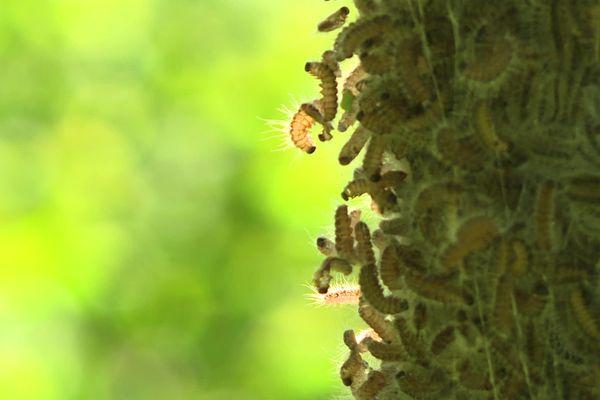 Les colonies de chenilles processionnaires fragilisent les chênes en dévorant leurs feuilles.