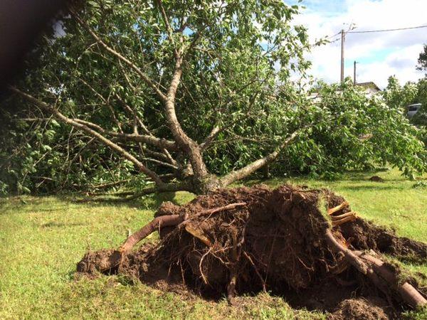 Un arbre totalement déraciné.