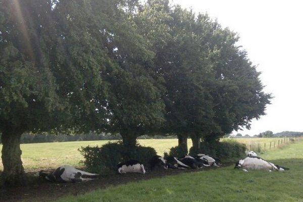 Les 13 vaches foudroyées après s'être abritées sous des arbres lors de l'orage samedi matin dans l'Avesnois.