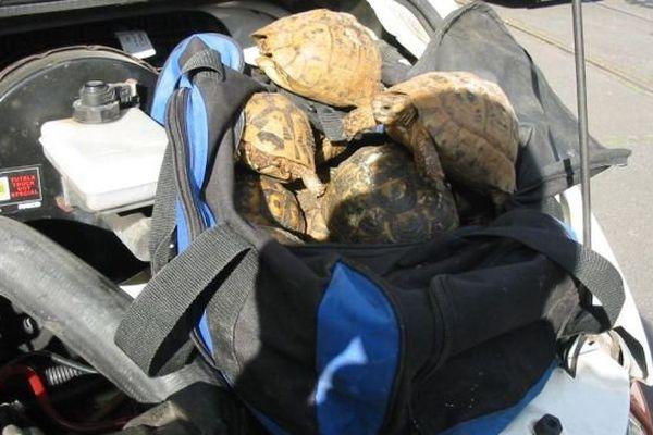 Les tortues vivantes étaient cachées dans le bloc moteur du véhicule