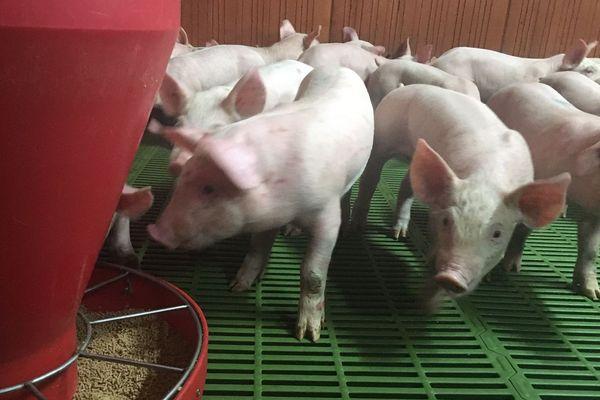 Les porcelets dans un élevage à Trémeurs (22)