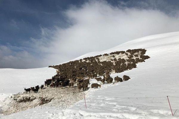 Un troupeau bloqué au col du Glandon en Savoie ce lundi 28 septembre.