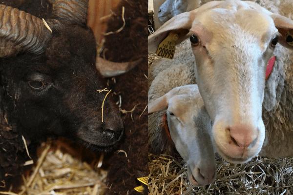 Le mouton d'Ouessant et la brebis de Lacaune