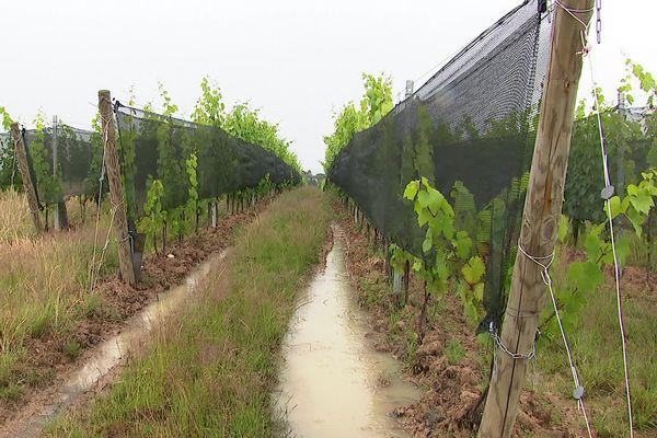 Le coût peut paraître élevé, mais peu à peu les viticulteurs s'équipent de filets anti-grêle. Dans le Beaujolais (Rhône), ils sont plusieurs à tester ce système, autorisé depuis deux ans. Et le retour sur investissement est indéniable.