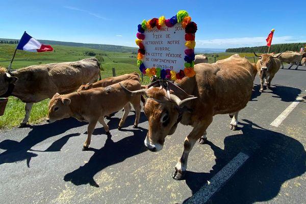 En Aveyron, certains éleveurs ont choisi daccompagner leurs bêtes en estive à pied, comme le veut la tradition, malgré l'annulation de la fête de la transhumance 2020, à cause du coronavirus.