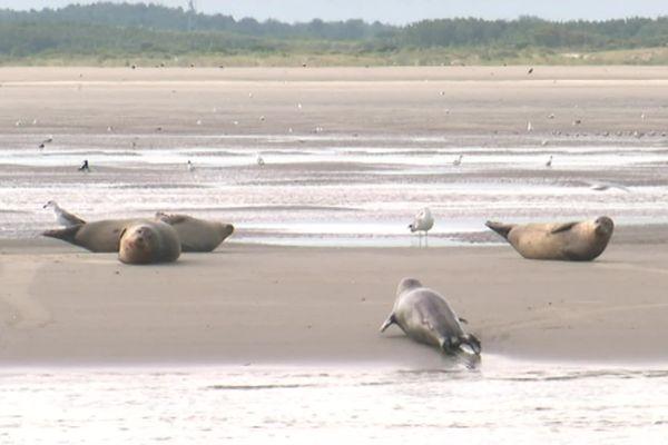 Une colonie de phoques en baie de Somme.