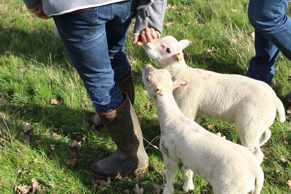 Les jeunes agneaux encore au biberon d'Aline et Jean-Luc Braud, dans leur ferme de l'Indre.