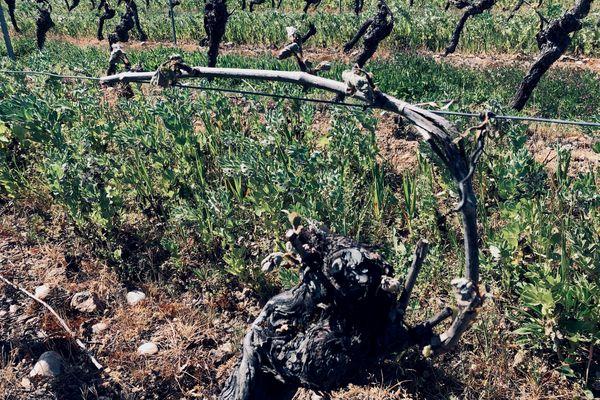 Les bourgeons de ce cep de vigne ont été brûlés par le gel. Jusqu'à 100% de dégâts sur certaines parcelles autour de Gaillac.