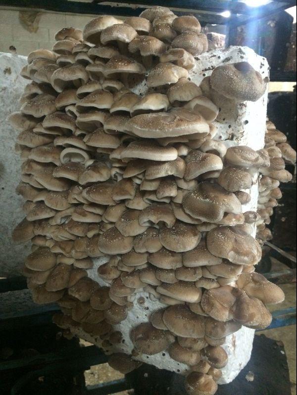 Le shiitake est le deuxième champignon le plus cultivé dans le monde, la Chine en est le plus grand producteur. On le retrouve facilement sur les tablettes d'épicerie, souvent sous sa forme séchée.