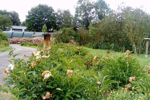 Couper les fleurs fanées pour ne pas épuiser les plantes, serra une des tâches confiées aux bénévoles.