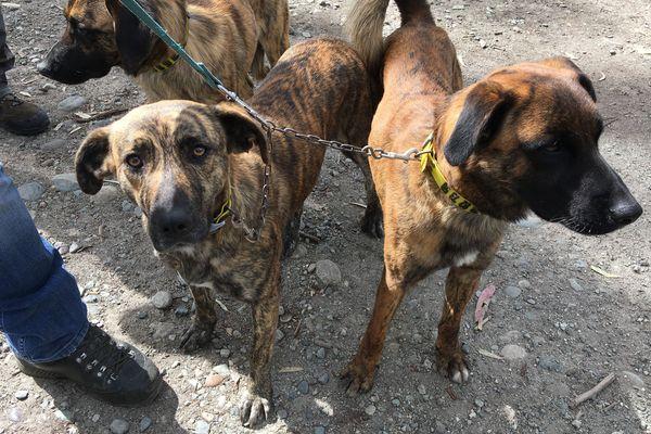 Le Cursinu est la race canine emblématique de Corse.