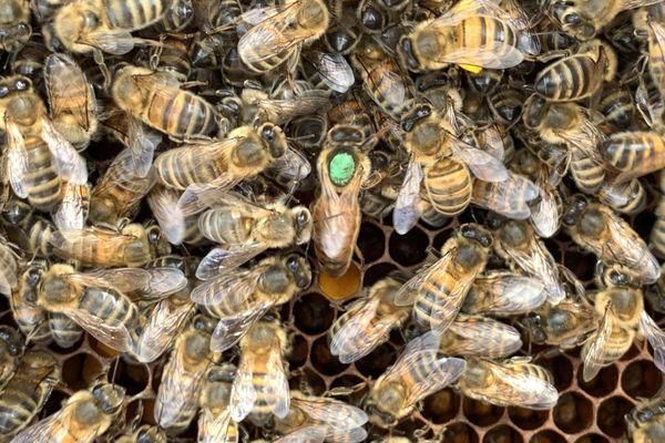 La reine est marquée par l'apiculteur afin de la repérer rapidement au sein du rucher