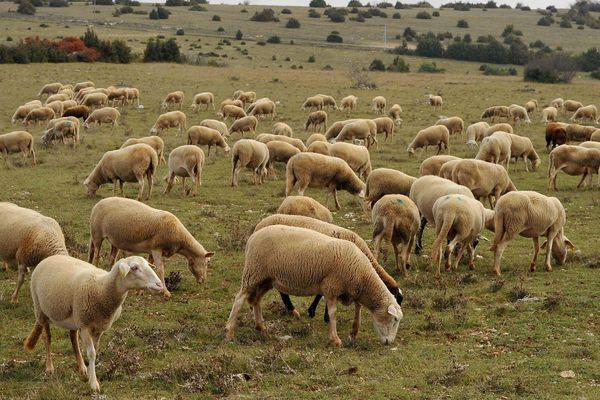 Un troupeau de brebis sur le Larzac, image d'illustration.